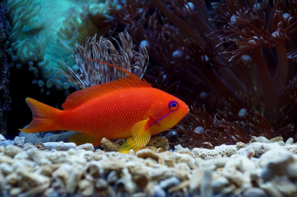 Rode vlagbaars aquarium