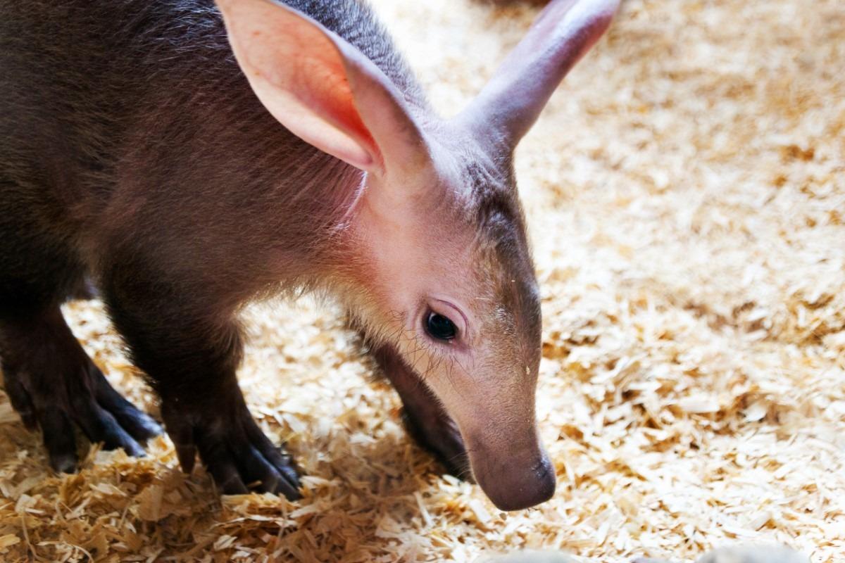Aardvarken baby