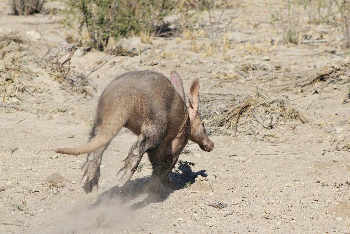 Aardvarken rennen