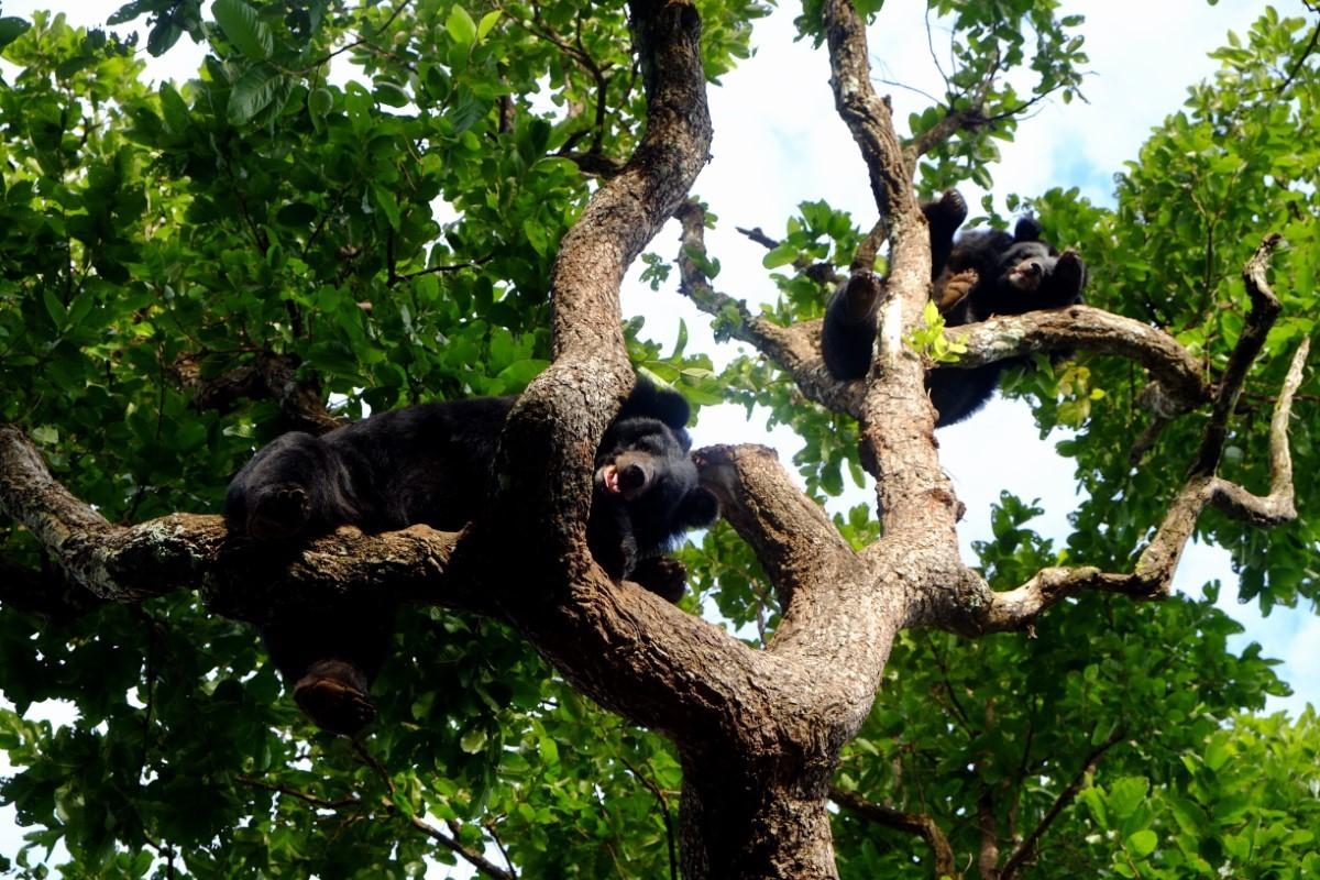 Aziatische zwarte beer in boom