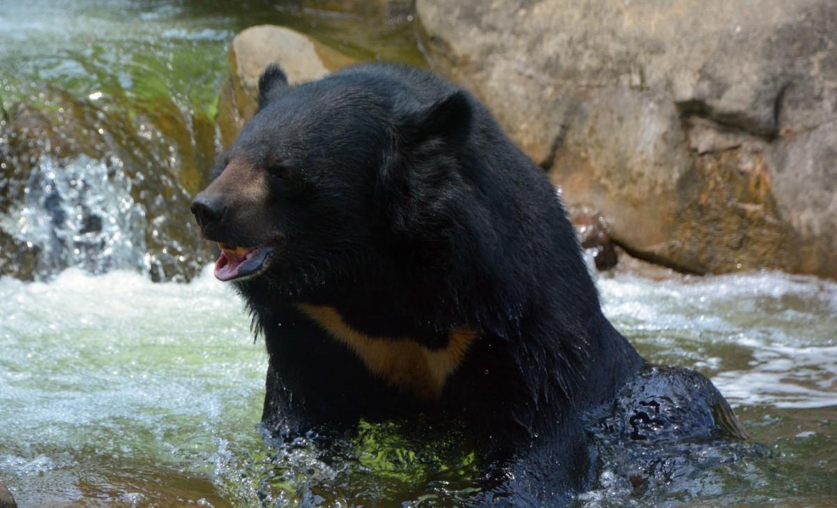 Aziatische zwarte beer leefomgeving