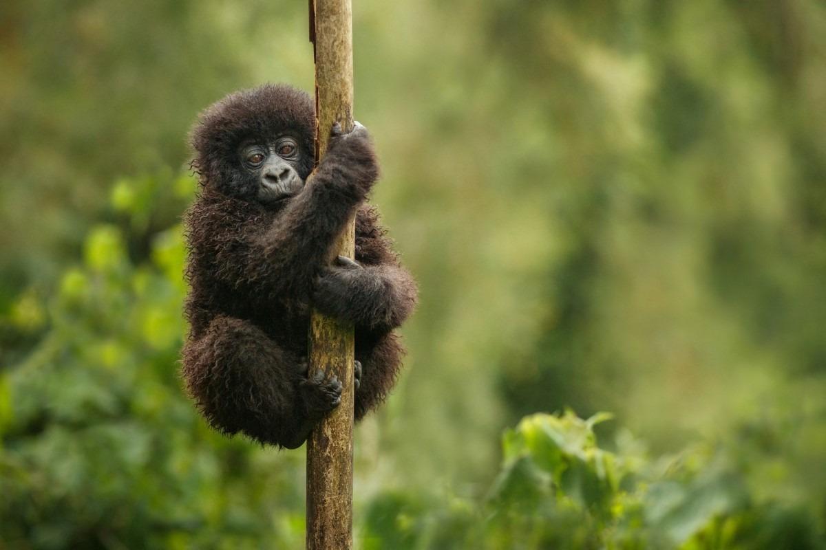 Baby oostelijke Gorilla