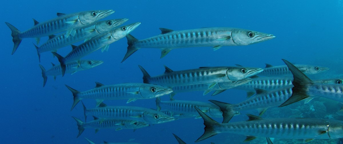 Barracuda vis