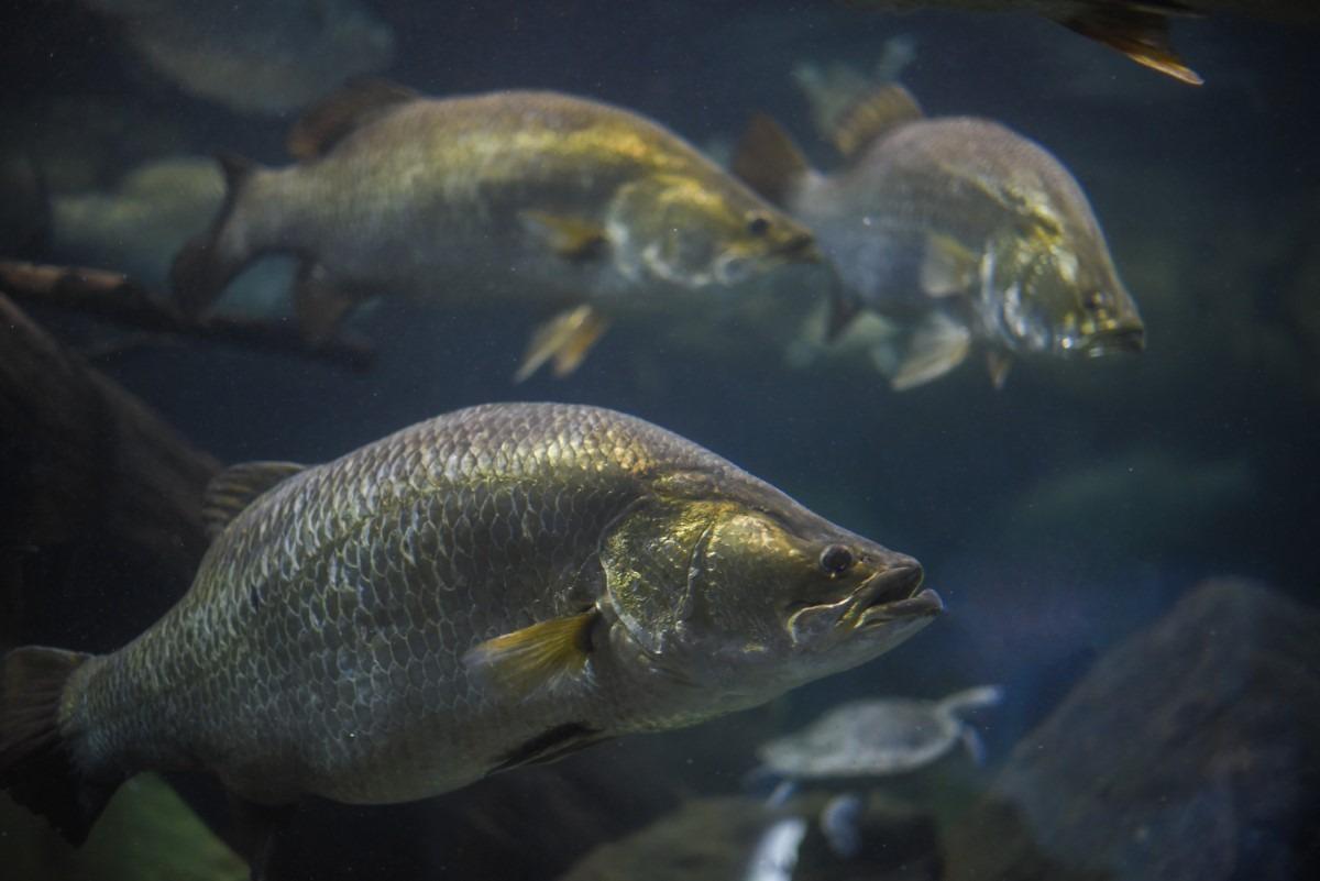 Barramundi Aquarium
