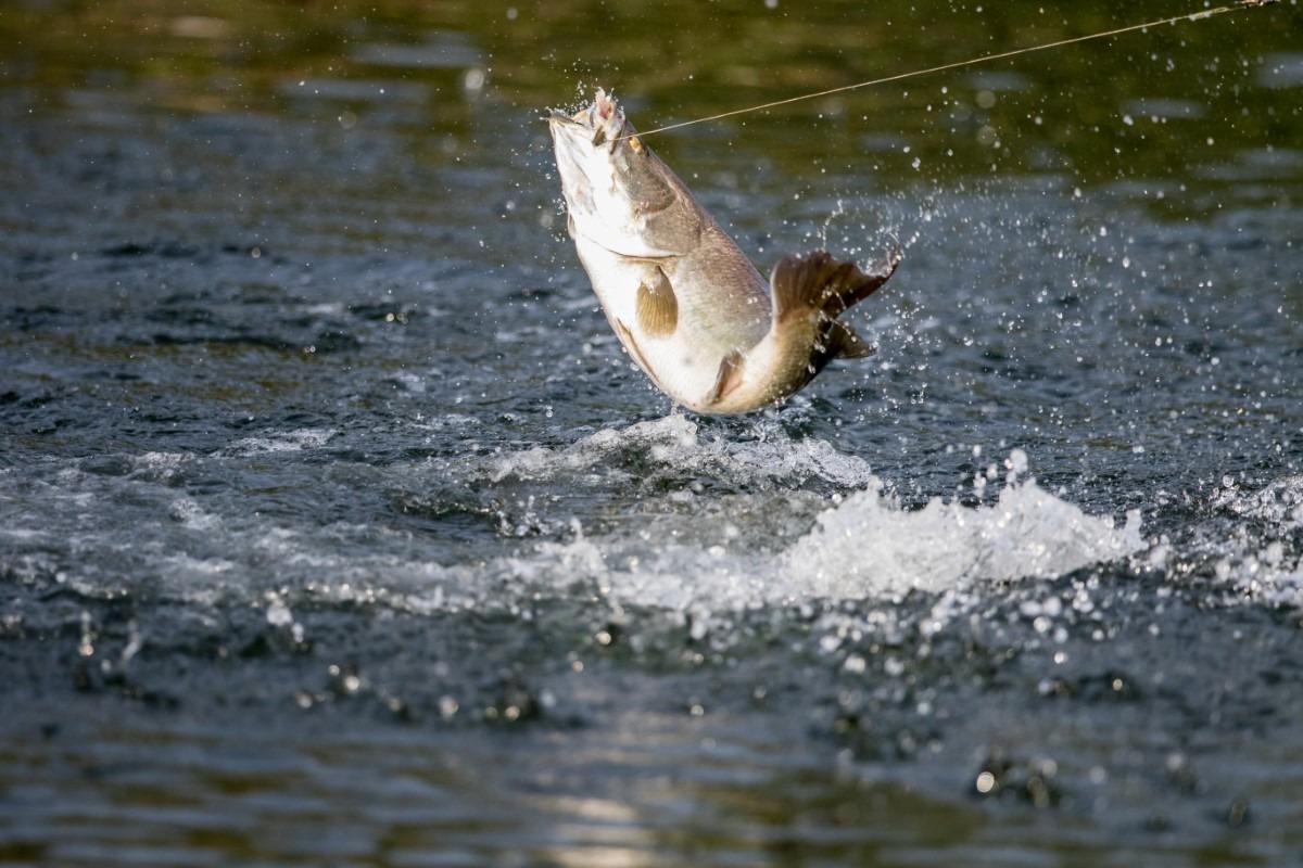 Barramundi vissen