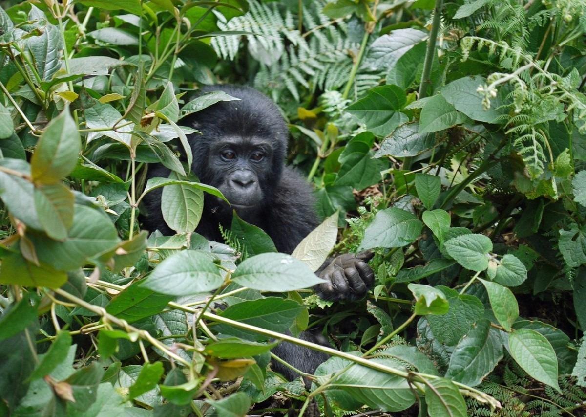Berggorilla baby