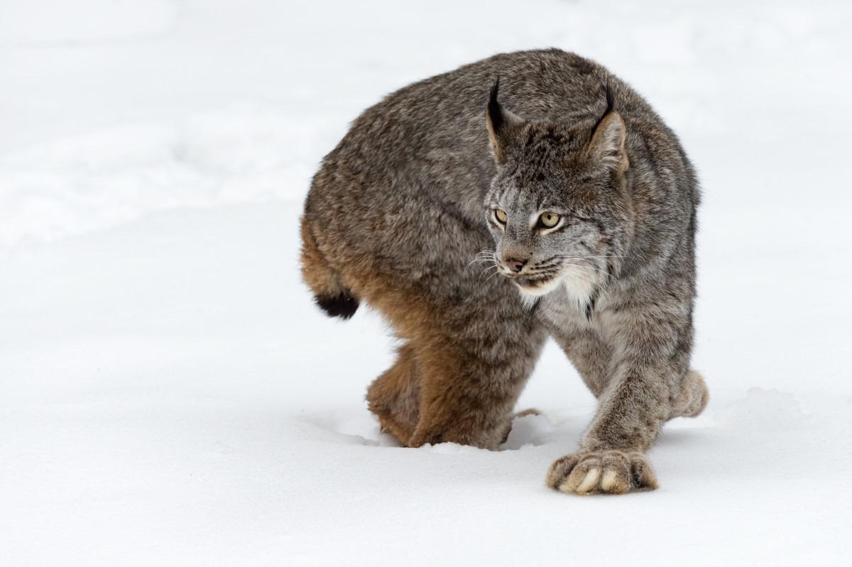 Canadese lynx huisdier
