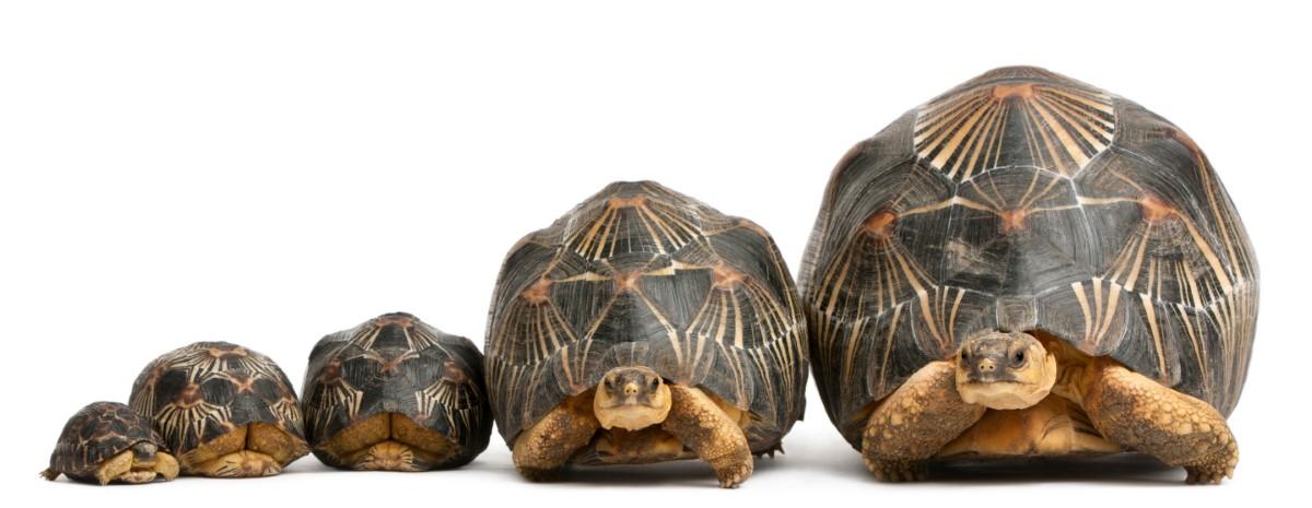 Groei stralenschildpad