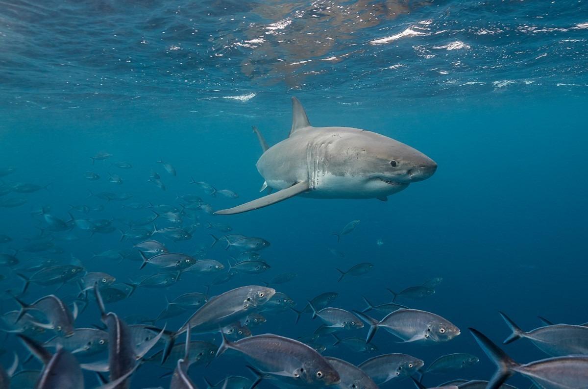 Grote witte haai eten