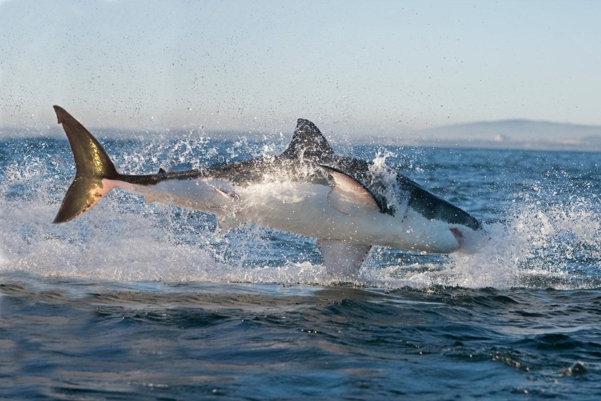 Grote witte haai lengte