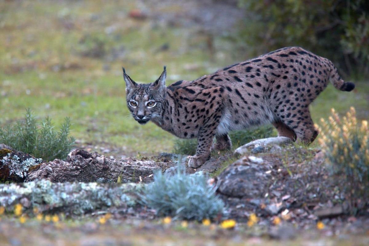 Iberische lynx eten