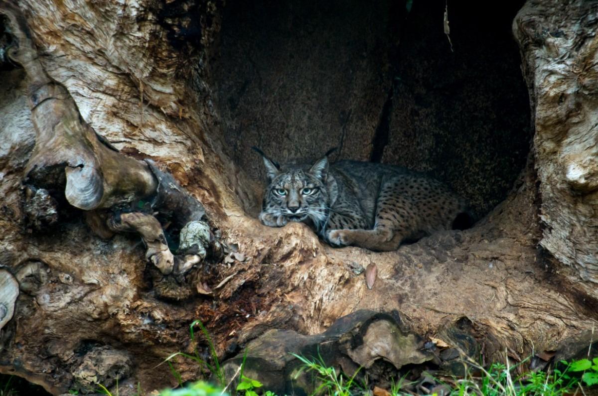 Iberische lynx leefomgeving