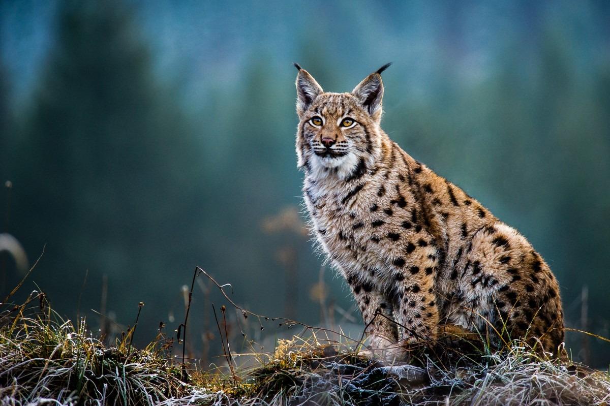 Lynx kat