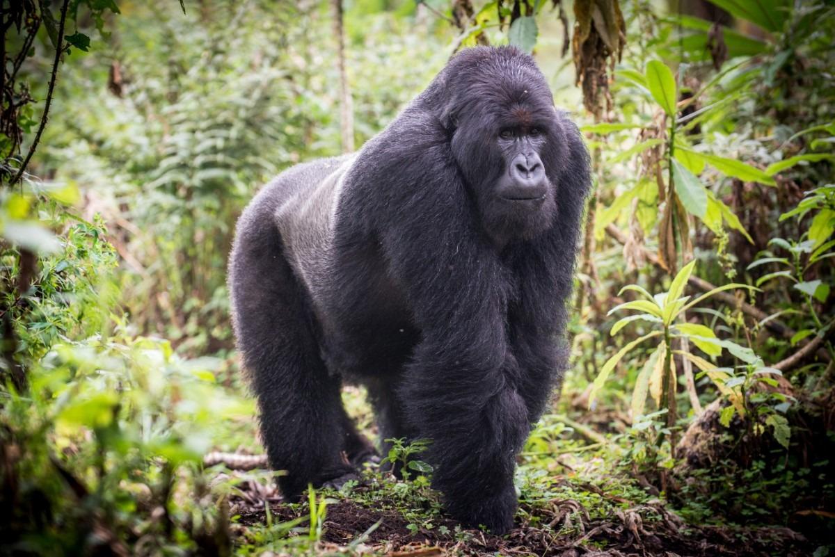 Oostelijke Gorilla eten