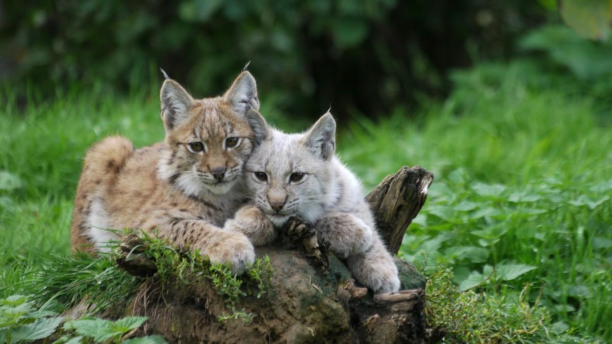 Rode lynx eten