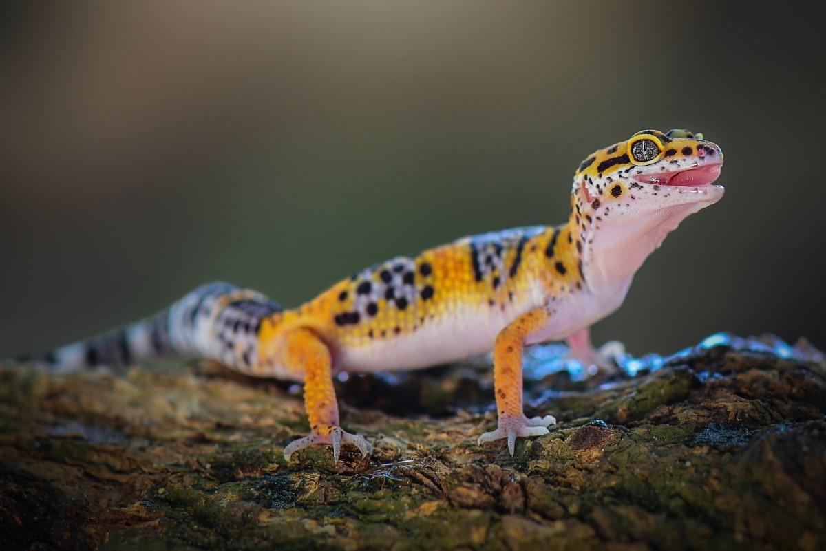 Wat eet een gekko