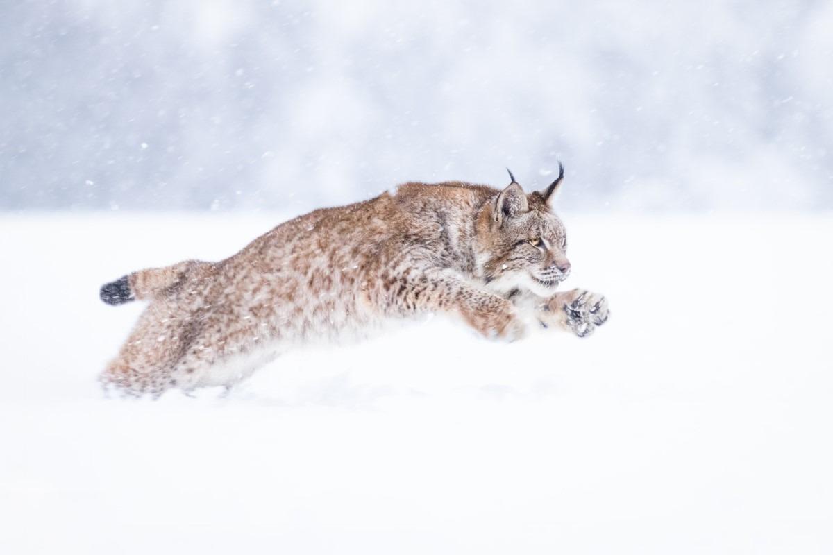 Wat eet een lynx