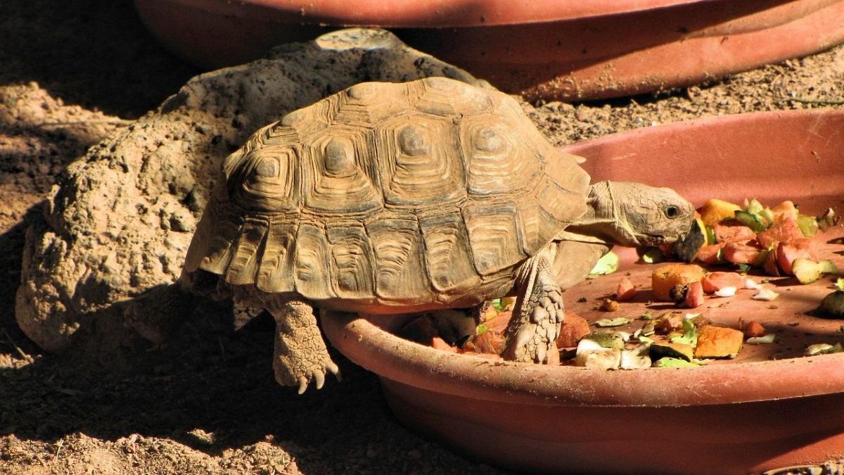 Woestijnschildpad eten