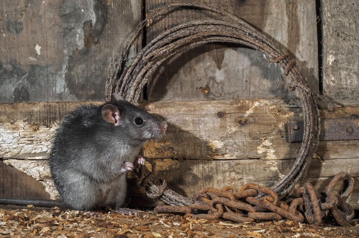Zwarte rat Nederland