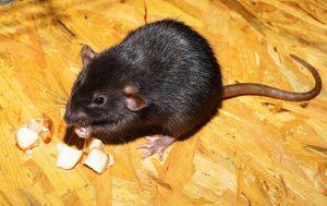 Zwarte rat eten
