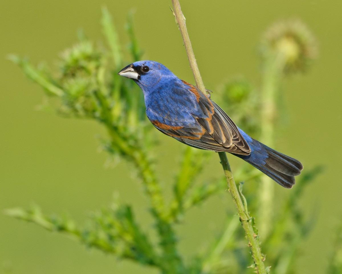 Blauwe bisschop vogel