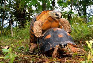 schildpad voortplanting
