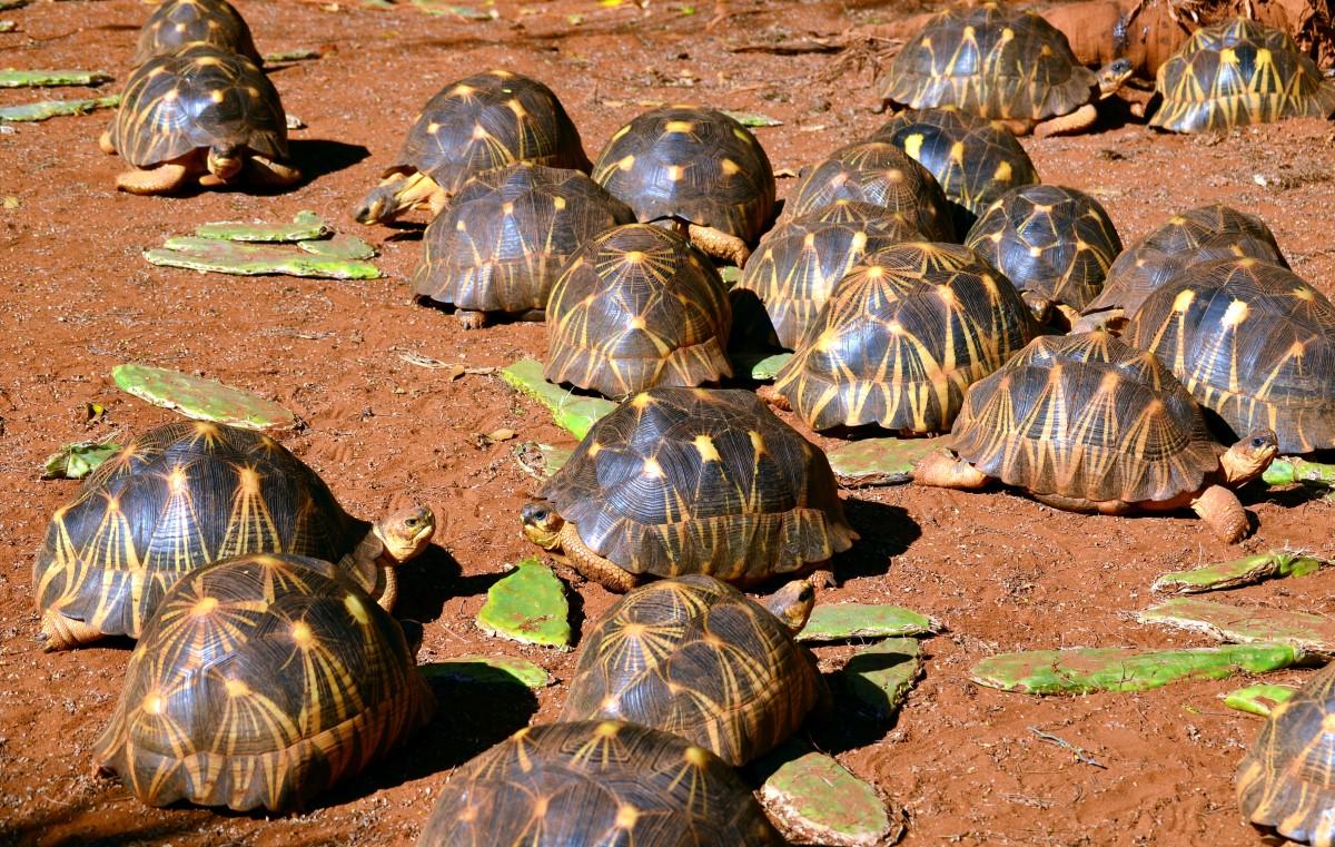 Stralenschildpad groep