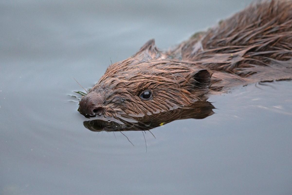 Bever zwemmen