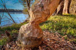 Omgekapte boom bever